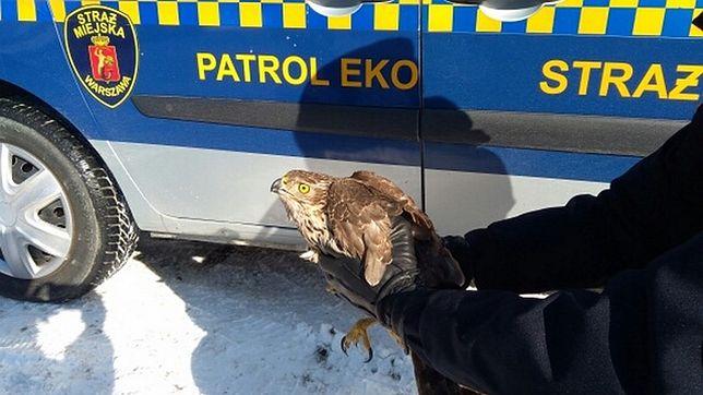 Warszawa. Rannym ptakiem zaopiekowała się straż miejska