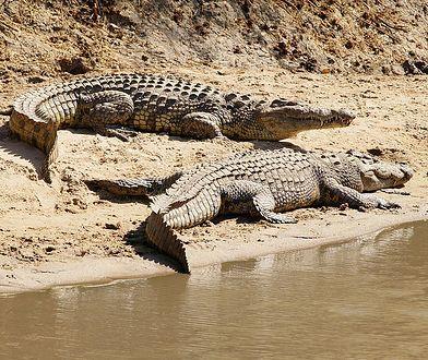 Krokodyle na brzegu (zdjęcie ilustracyjne)