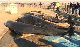 10 wielorybów na plaży w Calais