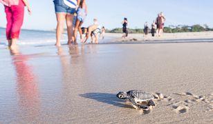 Mimo że liczba zniesionych jaj jest ogromna, tylko z 10 proc. z nich wylęgają się małe żółwie