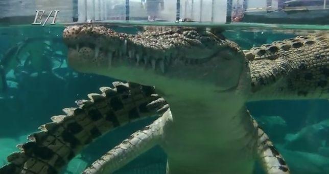 """Krokodyle z """"klatki śmierci"""" mają po 5 m długości i lubią dobrze zjeść"""