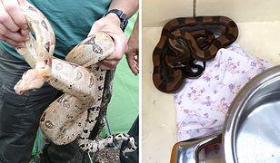 Dwa egzotyczne węże miały 180 i 40 centymetrów