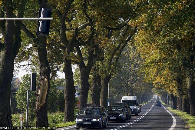Dębów przy polskich drogach nie brakuje
