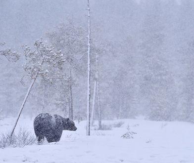 Niedźwiedzie już się budzą / Zdj. ilustracyjne