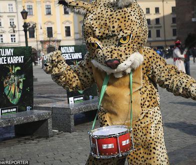 Tym rysiem ekolodzy wyciągają pieniądze od wrażliwych Polaków