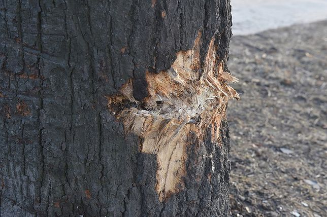 Drzewo w miejscu wypadku samochodu wiozącego premier Szydło