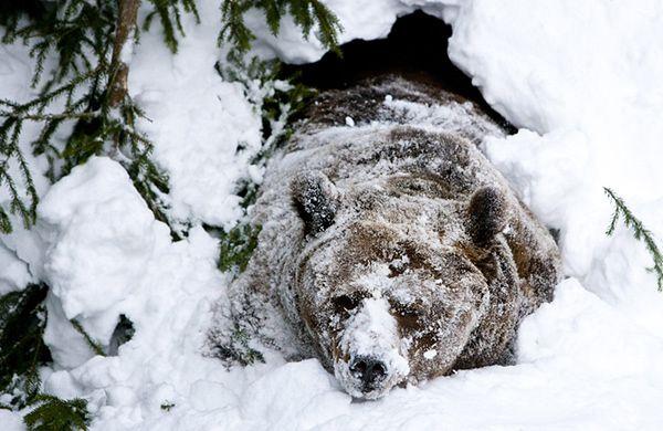 Na czym polega sen zimowy niedźwiedzi?