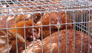 Na polskich fermach i zakładach drobiarskich póki co nie wykryto skażonych produktów