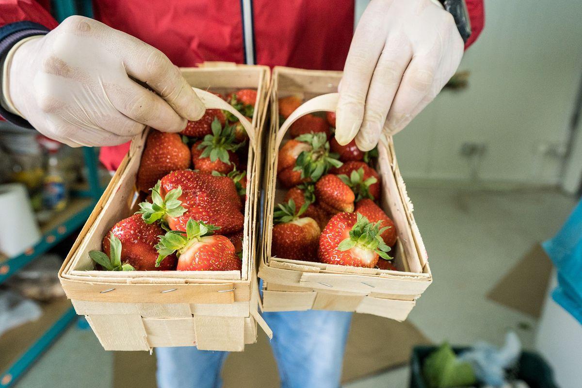Złodzieje truskawek. Plantator spod Puław stracił 100 łubianek