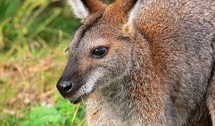 Zbiegły kangur wciąż nieuchwytny