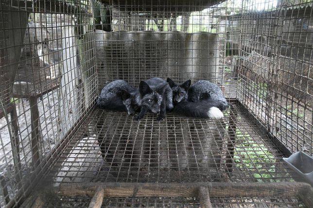 Lisy hodowane na fermie futrzarskiej w Goliszowie były przetrzymywane w fatalnych warunkach