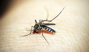 Ekspertka: gryzące nas komarzyce czekały nawet kilka lat na wylęgnięcie