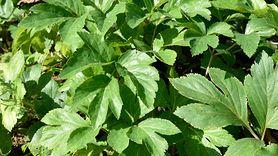 Japońska roślina może być sekretem długowieczności (WIDEO)