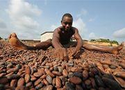Zbiory owoców kakaowca na południowym Wybrzeżu Kości Słoniowej.