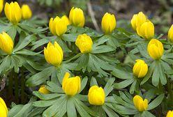 Pierwsze wiosenne kwiaty. Już są!