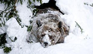 Tatrzańskie niedźwiedzie jeszcze nie śpią