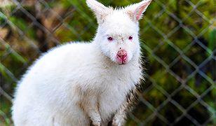 Polska kangurzyca-albinoska na monetach NBP