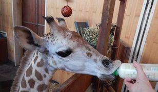 Żyrafek Gortat obchodzi pierwsze urodziny!