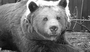 Warszawa. Nie żyje Tatra, niedźwiedzica z zoo