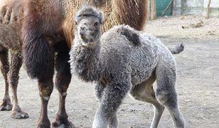 Warszawskie Zoo ma nowego mieszkańca. Na świat przyszła Mania