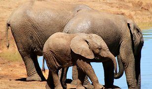 Niecodzienna akcja ratunkowa. Słonie utkwiły w zbiorniku retencyjnym