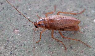 Naukowcy odkryli ciekawą umiejętność karaluchów
