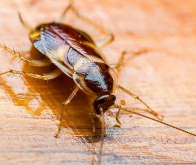 Karaluchy - mimo nieprzyjemnej aparycji - to bardzo pożyteczne insekty