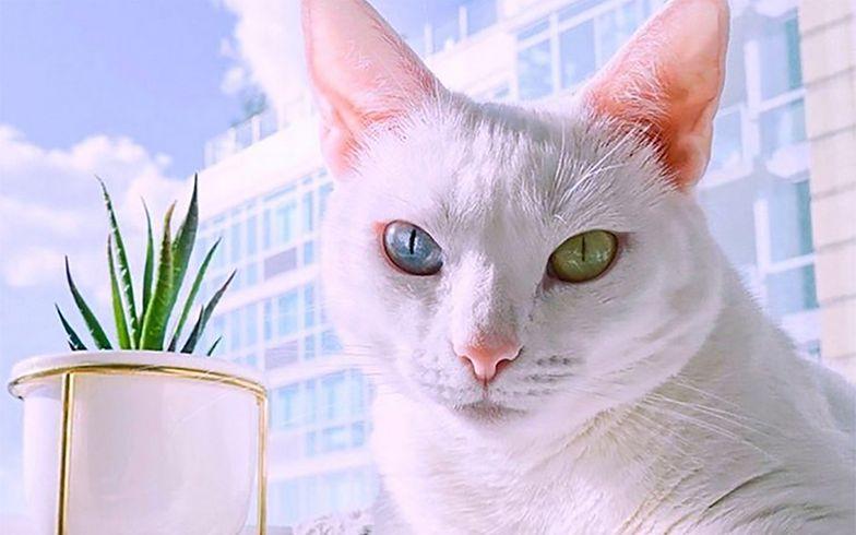 Ten kot jest wybitnie wyjątkowy i nie chodzi o jego oczy. Zobacz, jakie ma łapy