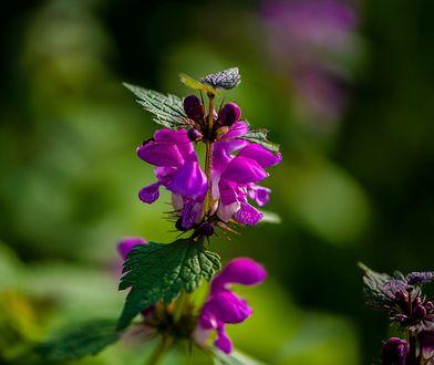 Utrapienie polskich ogrodników z ciekawymi właściwościami leczniczymi