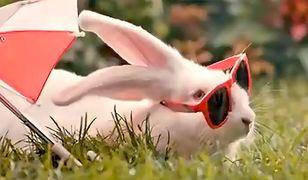 Kilka sekund spotu o królikach za 600 tys.zł. Poseł PO zdradza szczegóły