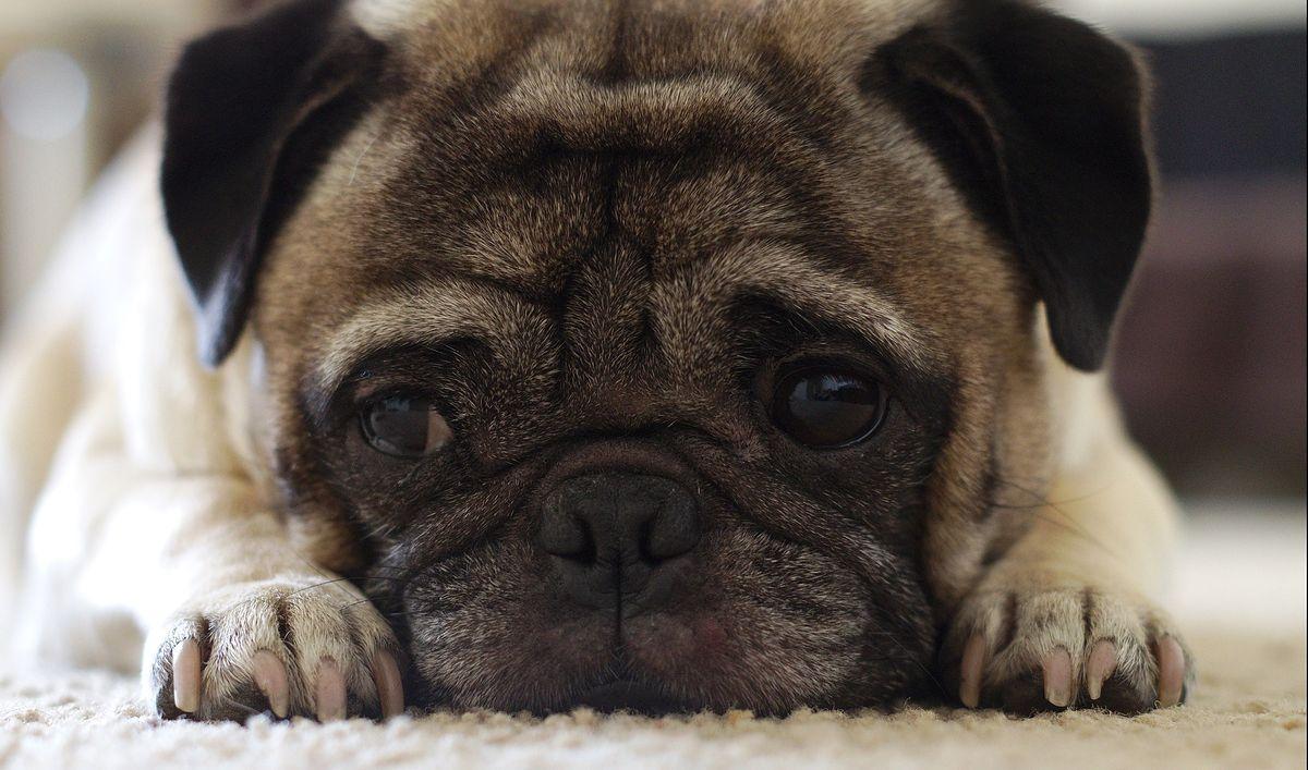 """Psy nauczyły się robić """"smutne oczy"""", by manipulować ludźmi"""