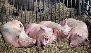 Afrykański pomór świń - wirusa mogą przenosić pracownicy z krajów wschodnich