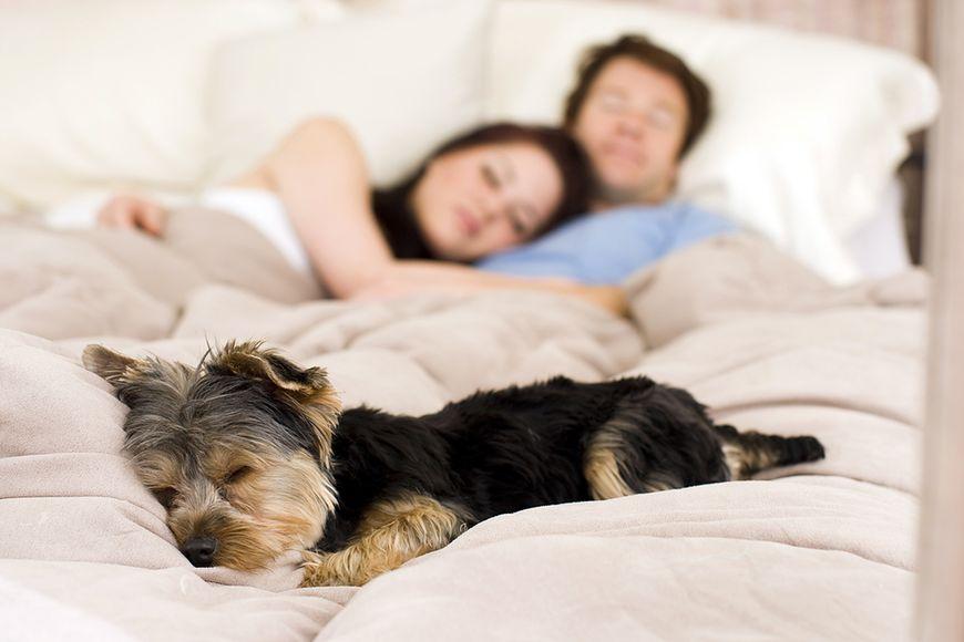 Pies śpiący w łóżku