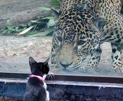 Postawili kota przed wybiegiem jaguara w zoo. Zobacz, jak zareagował. Nagranie