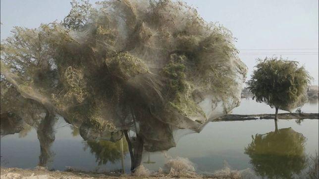 Pająki na drzewach w Pakistanie po powodzi.