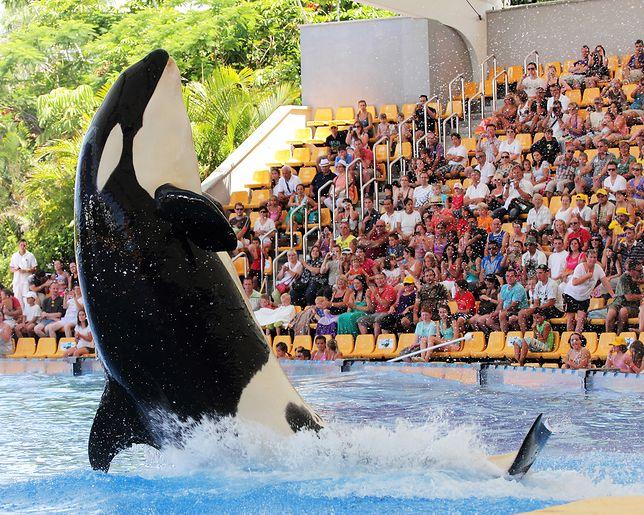 Spotkanie z orką to jedna z największych atrakcji Loro Parque
