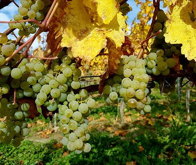 Winorośle w Winnicy Wieliczka w jesiennym słońcu