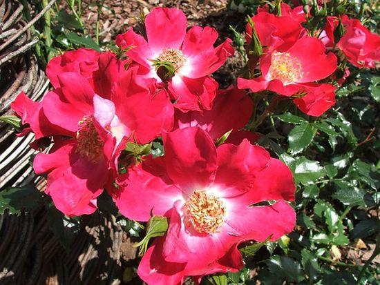 Czerwona róża rabatowa