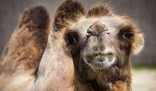 Naukowcy dokonali szokującego odkrycia. Znaleźli 2000 plastikowych toreb w ciele wielbłąda