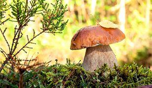 W Belgii trzeba mieć pozwolenie na zbieranie grzybów na sprzedaż