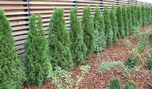 Tuje: sadzenie i pielęgnacja