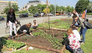 Ogródek warzywny w centrum stolicy