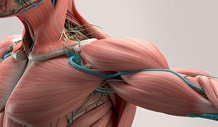 Budowa mięśni. Jak działają mięśnie i jakie rodzaje mięśni wyróżniamy?