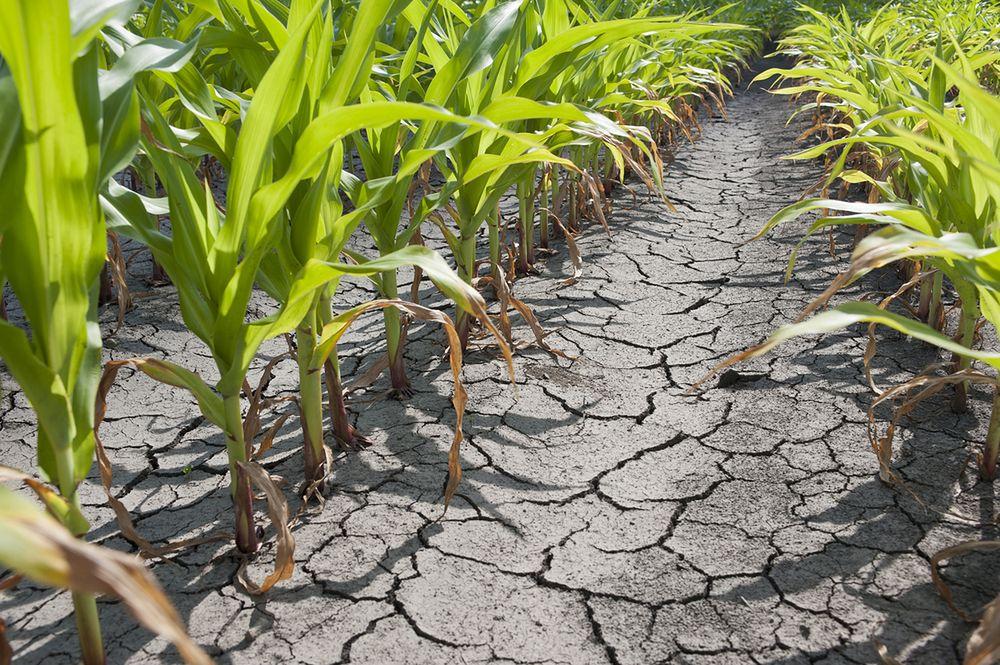 Susza w Niemczech. Rolnicy chcą odszkodowań. Nawet miliarda euro