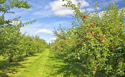 Jak jabłko to z Polski, czyli jak ćwierć wieku wykorzystali nasi sadownicy