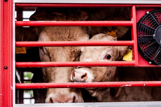 Zmniejszenie produkcji mięsa jest kluczowym elementem w stawieniu czoła zmianom klimatycznym.