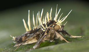 Grzyby zombie atakują przeróżne owady