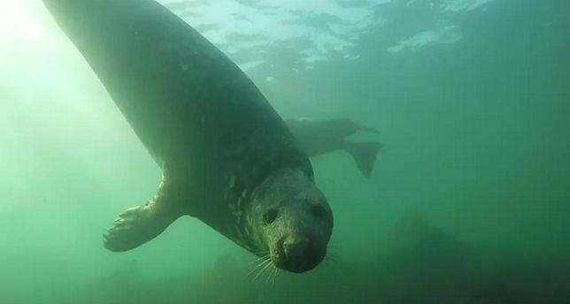 Foki klaszczące pod wodą. Po wielu latach udało się je nagrać