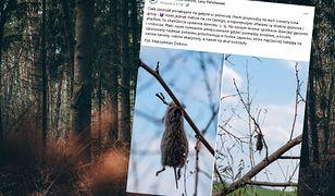 Ciała zwierząt ponabijane na gałęzie. W polskim lesie sceny jak z horroru