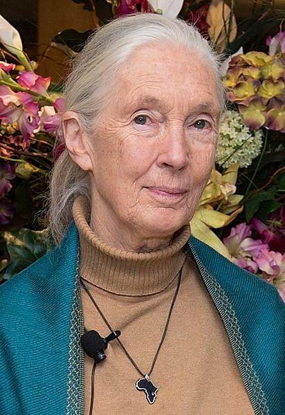 Jane Goodall jest brytyjską badaczką